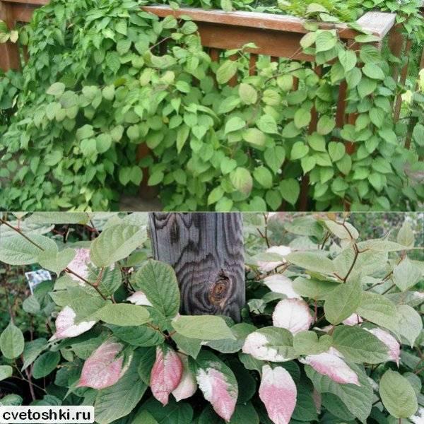 Актинидия: посадка и уход в открытом грунте, особенности размножения: фото и видео технология выращивания