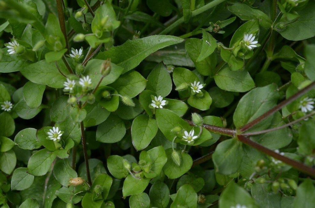 Растение звездчатка средняя