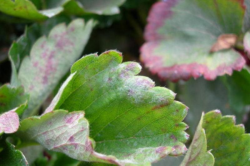 Почему скручиваются листья у клубники: основные причины