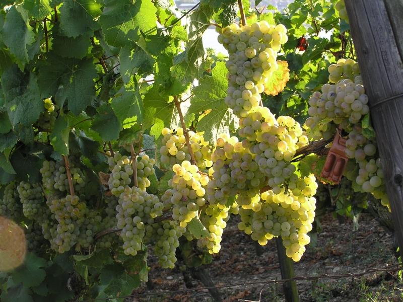 Виноград рофшор: описание сорта, фото, отзывы, выращивание и уход