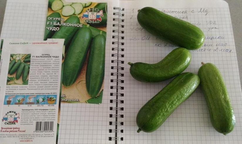 Огурец балконное чудо f1: описание, отзывы, фото, урожайность