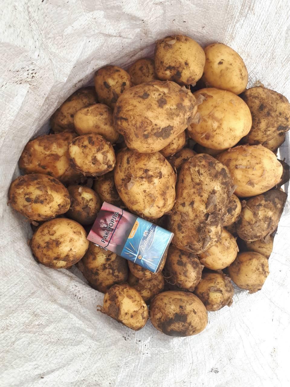 Сорта картофеля в белоруссии: 15 лучших с описанием и характеристиками + фото