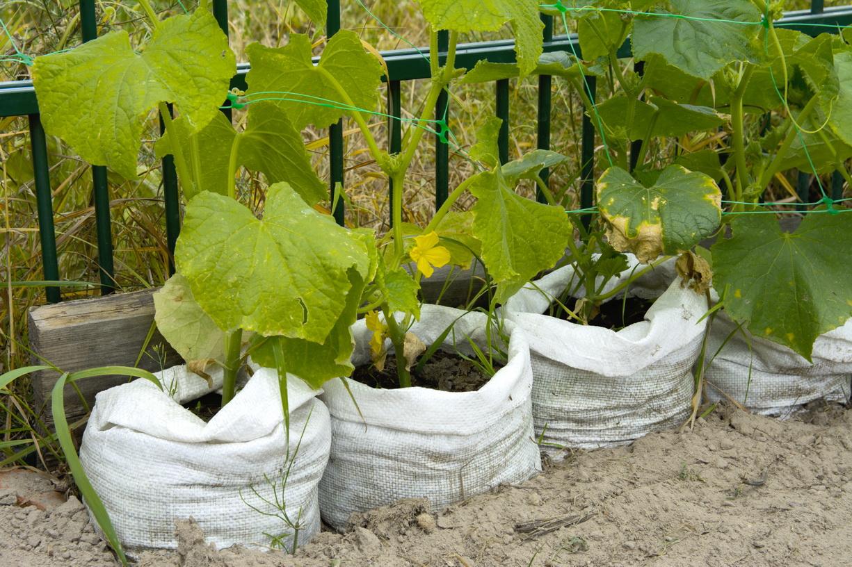 Выращивание помидоров в мешках — пошаговая инструкция: как посадить и собрать урожай, отзывы, фото, описание