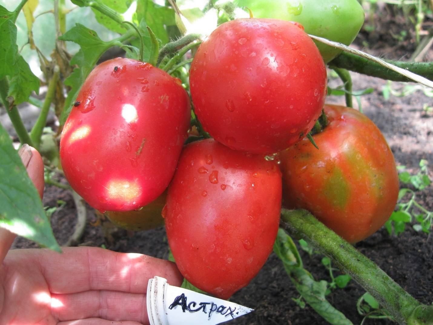 Томат астраханский: характеристика и описание сорта, урожайность с фото