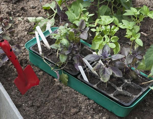 Базилик: посадка и уход в открытом грунте и в домашних условиях