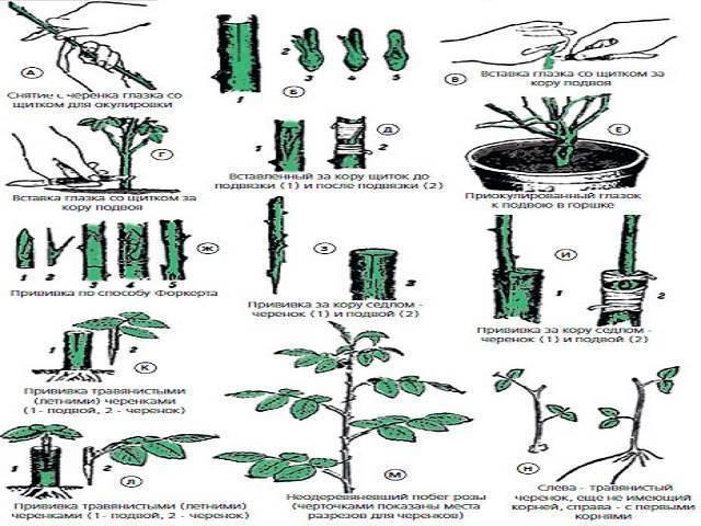 Выращивание черешни из косточки в домашних условиях