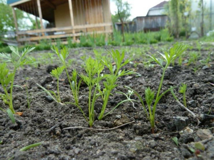 Сколько всходит морковь и как ускорить прорастание семян — секреты опытных огородников