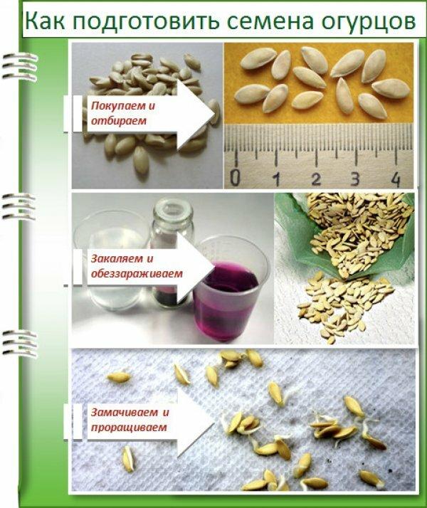 Сбор семян огурцов – тонкости процесса
