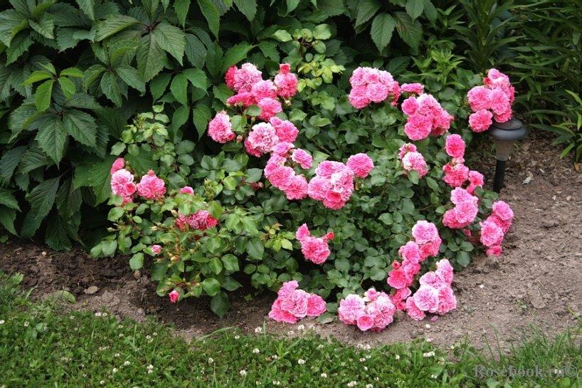 Как сделать розарий в саду: особенности выращивания почвопокровных роз