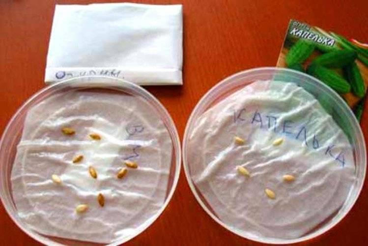 Замачивание семян огурцов перед посадкой - как правильно замочить