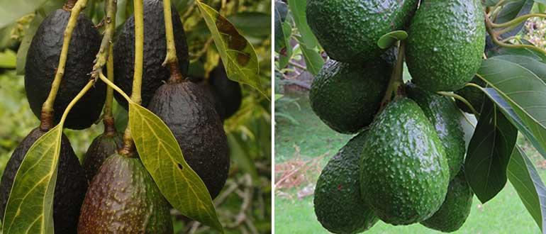 Черный авокадо (хасс): описание сорта, уход в домашних условиях, фото selo.guru — интернет портал о сельском хозяйстве