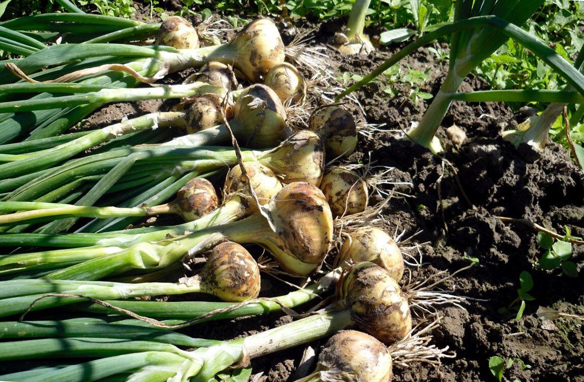 Семейный лук: выращивание и уход в открытом грунте