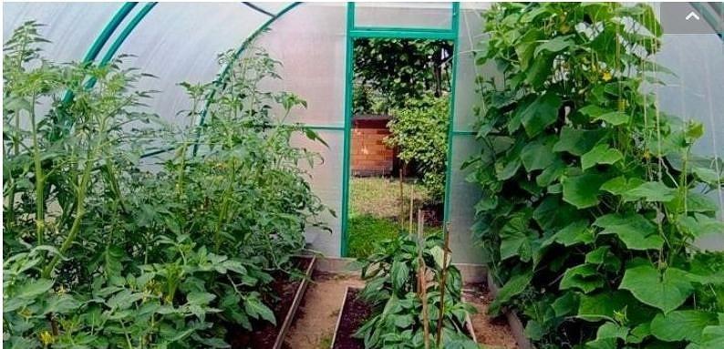 Совместимость томатов, перца и баклажан в теплице