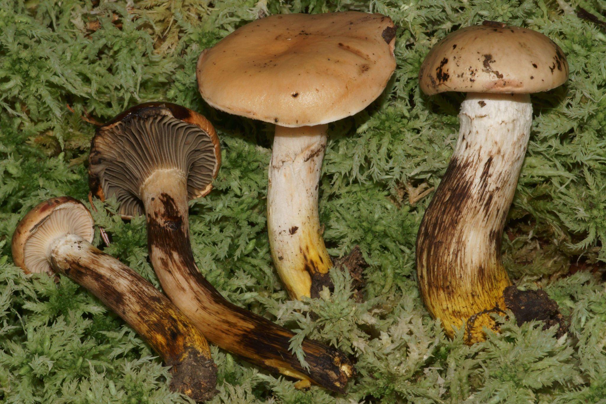 Как приготовить на зиму гриб мокруха пурпурная. гриб мокруха: описание видов, места сбора и варианты приготовления. фото и картинки с описанием мокрухи пурпуровой