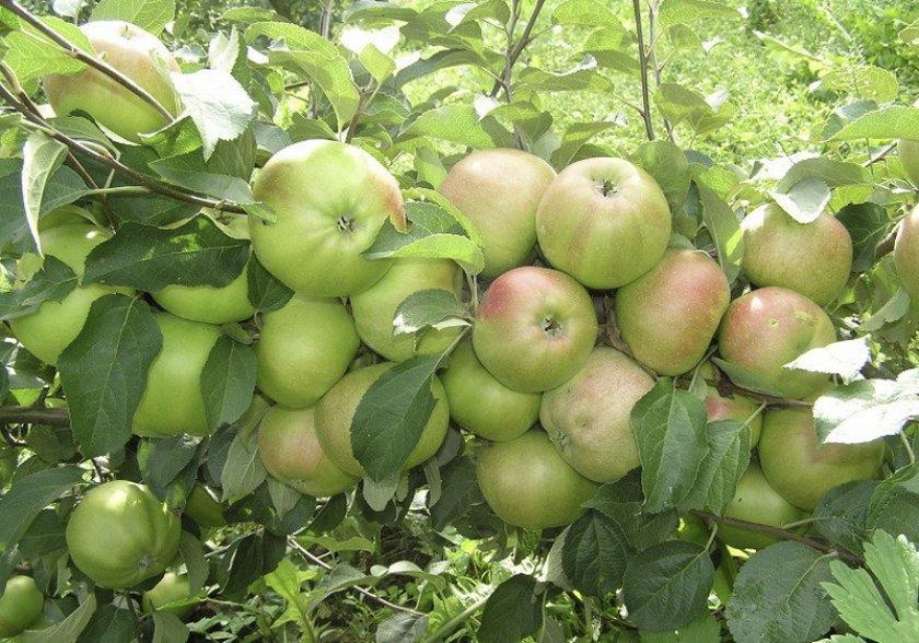 Яблоня имрус: описание, опылители, выращивание, фото и видео