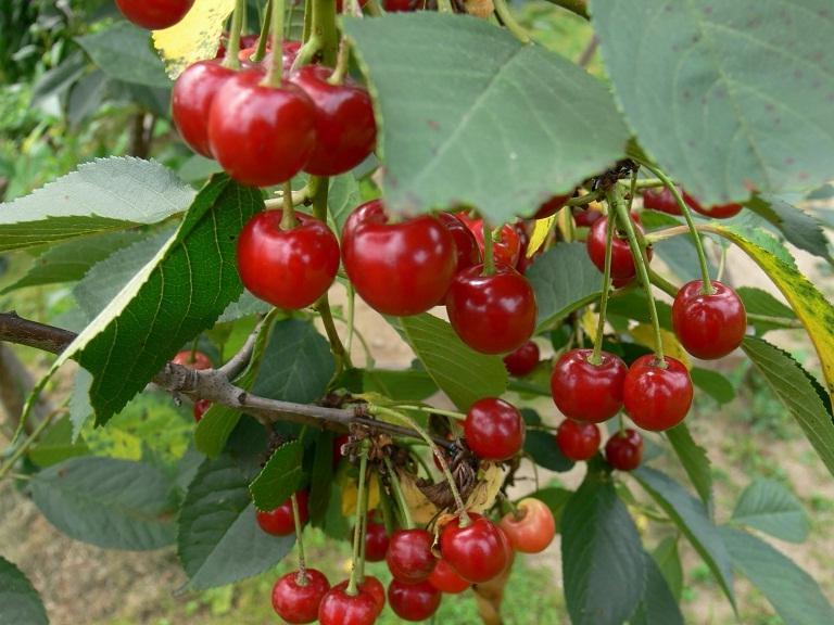 Вкуснейшие ягоды при минимуме ухода — вишня молодежная