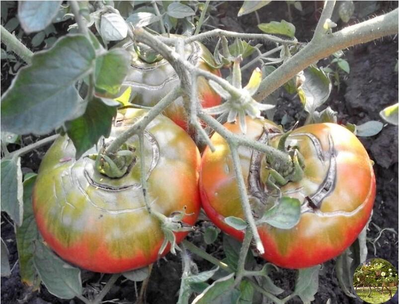 Почему трескаются помидоры в теплице при созревании на кусту фото видео