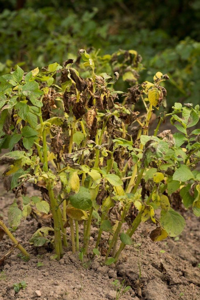 Почему желтеет и сохнет ботва картофеля раньше времени