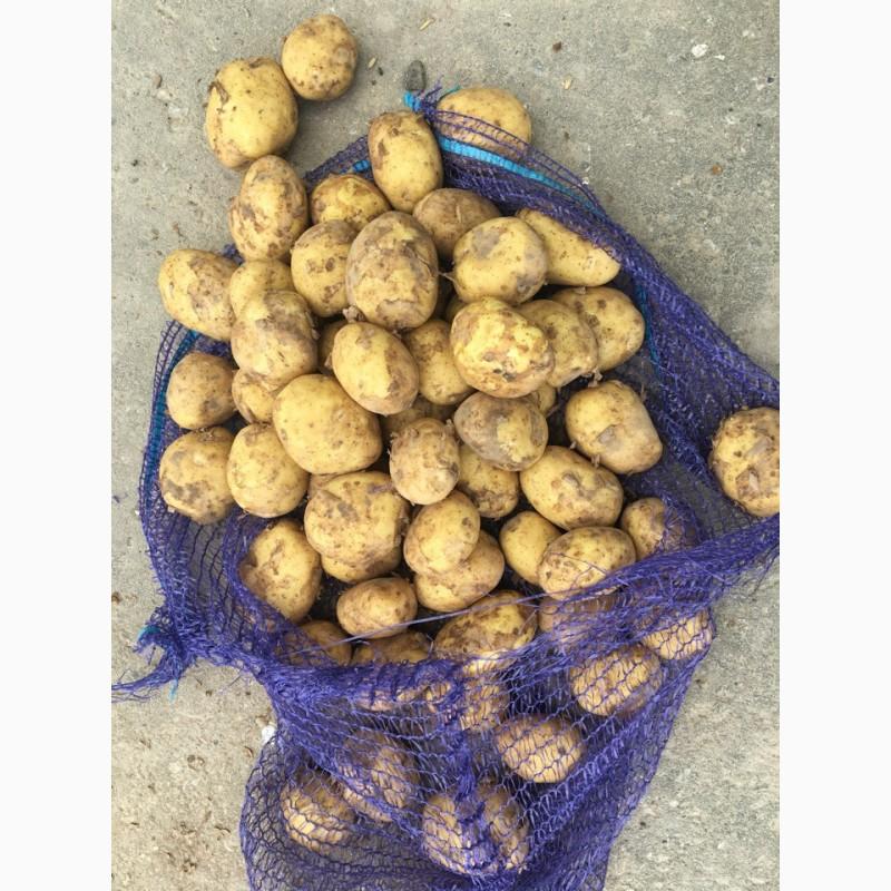 Картофель уладар: описание и характеристика сорта, отзывы дачников с фото