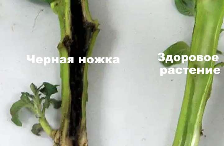 Как бороться с черной ножкой у рассады капусты: методы и средства при заболевании