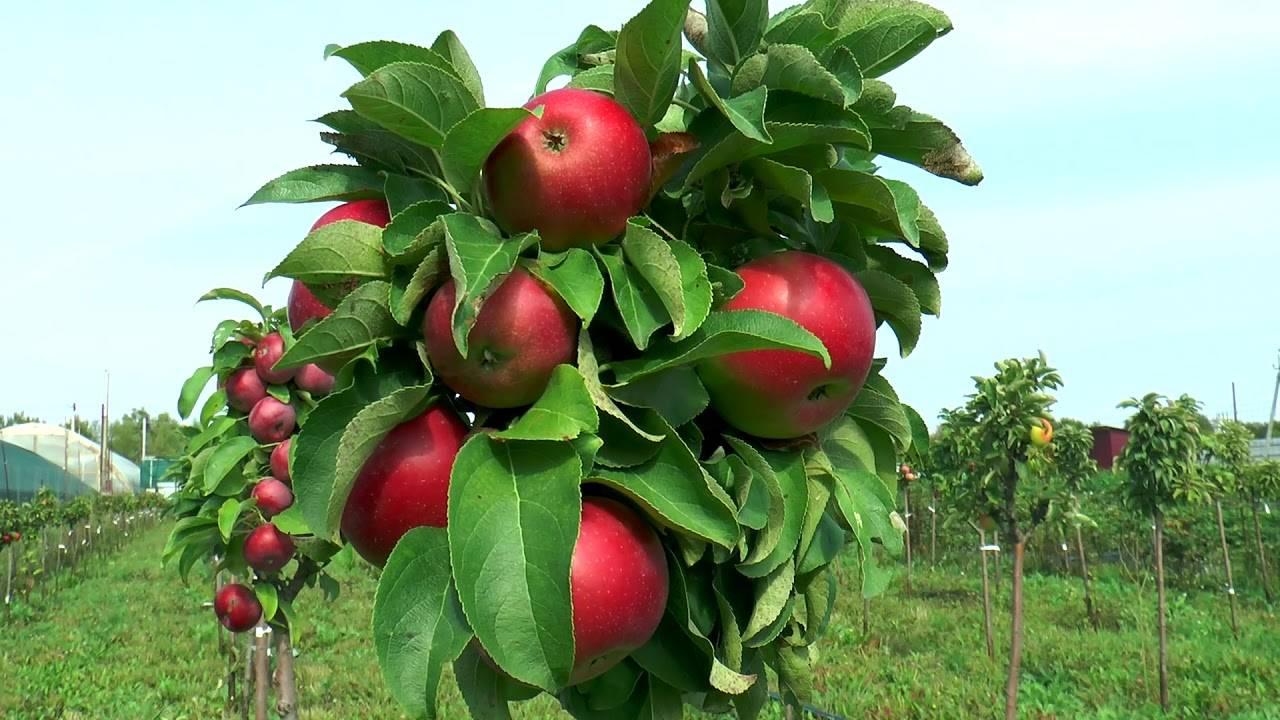 Лучшие сорта яблони для подмосковья: низкорослые, зимостойкие и устойчивые к парше