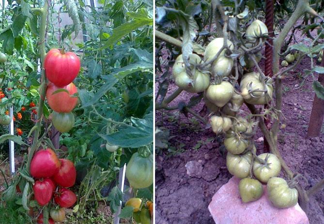 Описание сорта томатов буденовка с фото: характеристика, все плюсы и минусы, особенности выращивания помидоров и видео