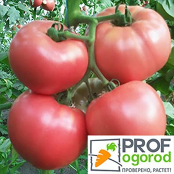 Томат инфинити: характеристика и описание сорта, урожайность с фото