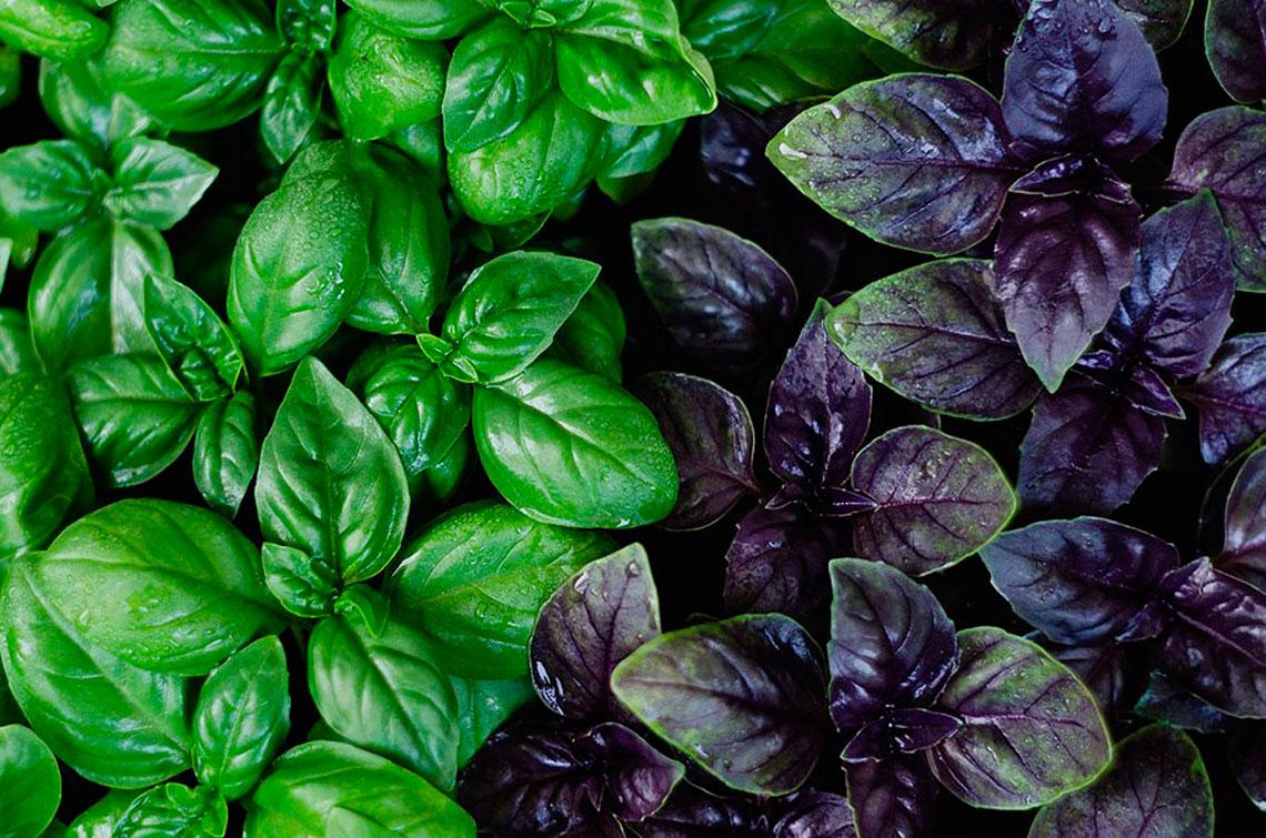 Базилик фиолетовый: польза, сорта с описанием, выращивание