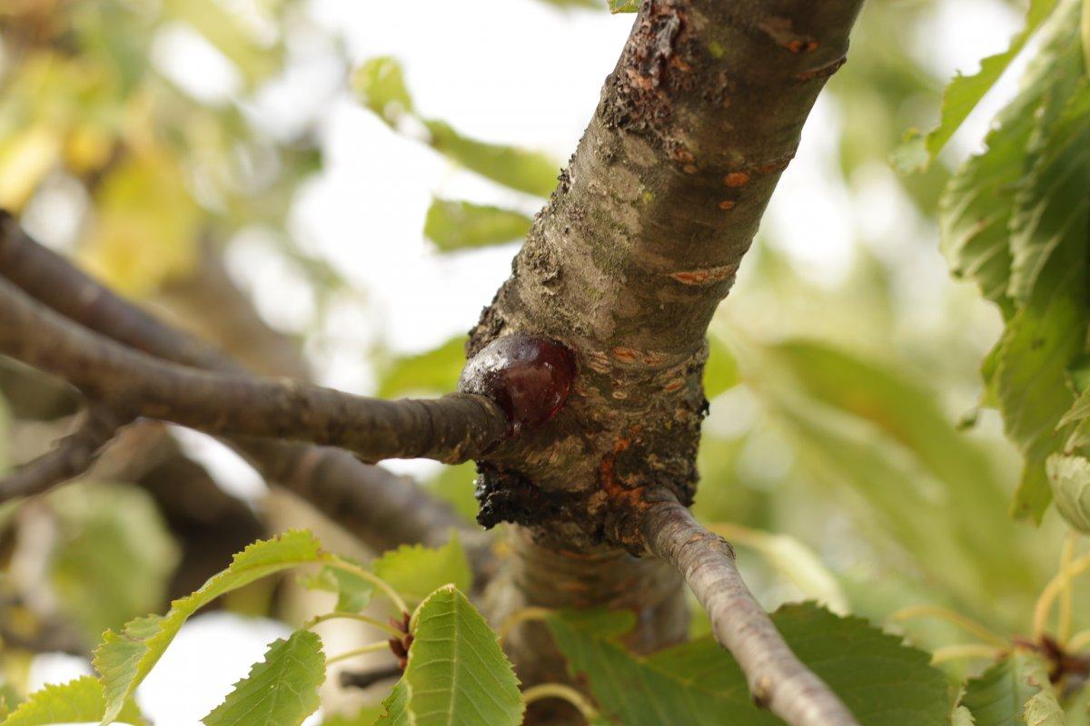 Как лечить камедетечение у деревьев: яблони, сливы, вишни, персика, черешни и абрикоса