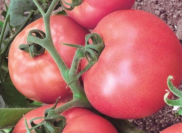 Характеристика и описание томатов сорта клуша, выращивание в открытом грунте и теплице, фото плодов