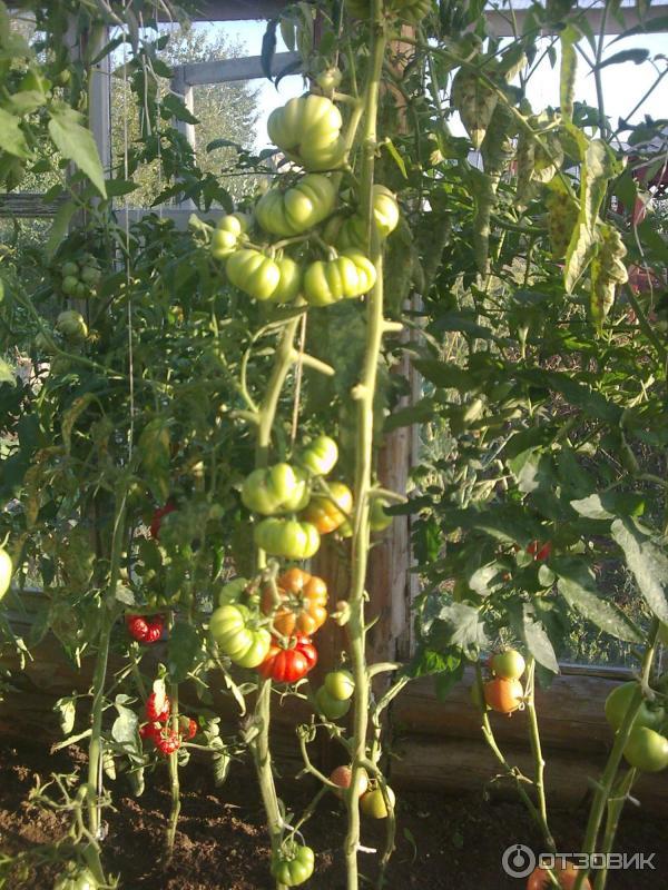 Сорт помидоров с говорящим названием — томат «соседская зависть f1»: чем хорош и как его правильно выращивать