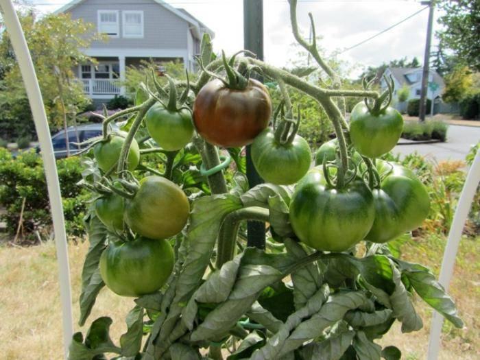 Описание и характеристики томатов сорта черный принц