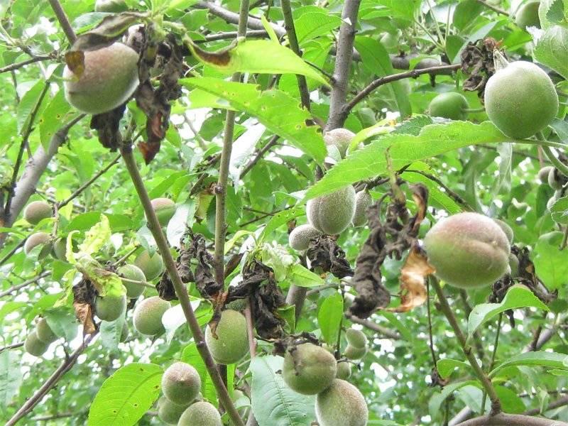 Почему яблоня сбрасывает плоды до их созревания: причины и что делать