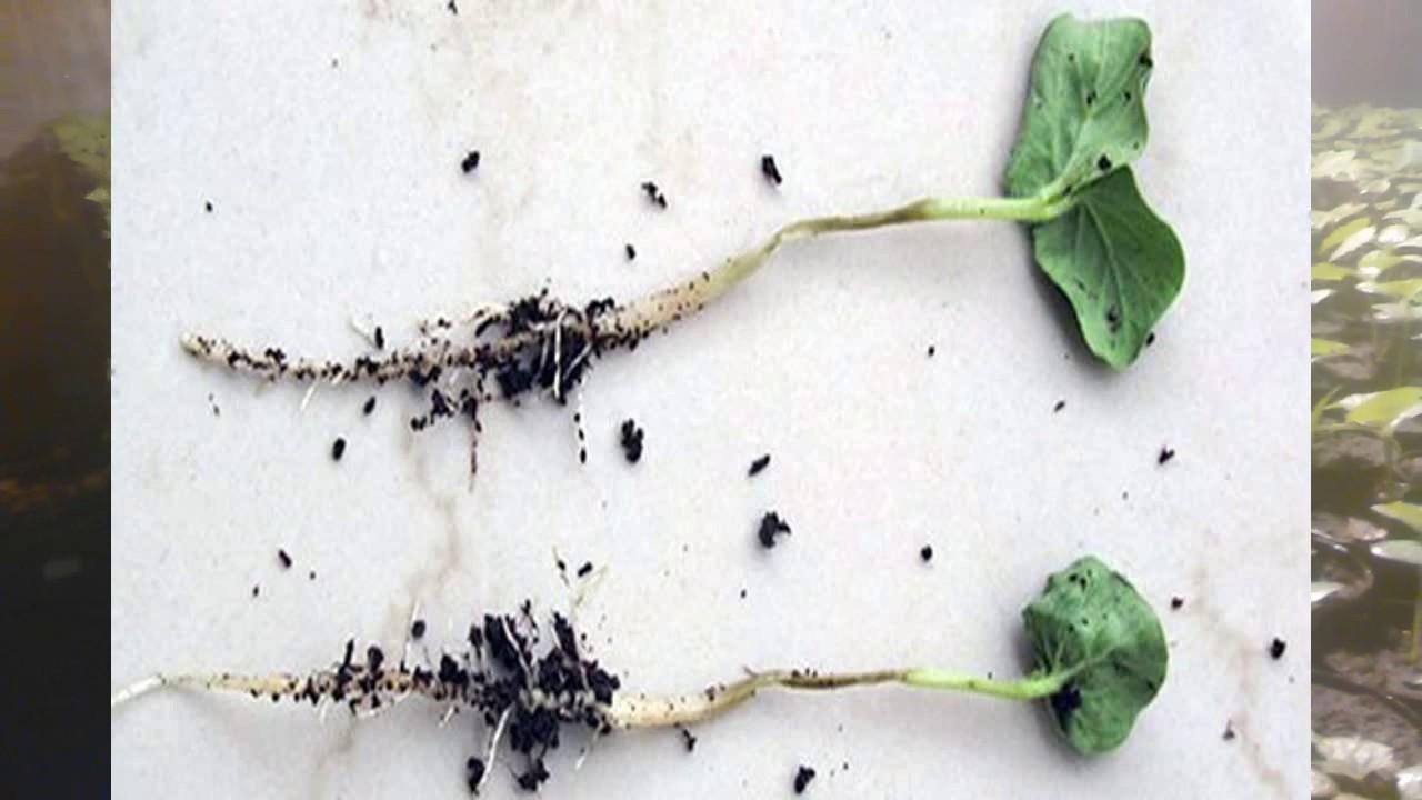 Эффективные меры борьбы с черной ножкой на рассаде капусты