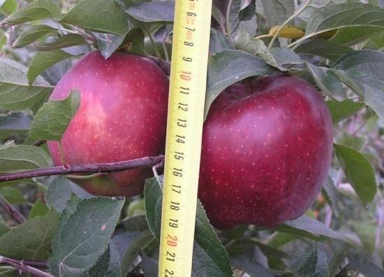 Характеристики и описание сорта яблонь «ред чиф»