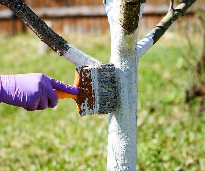 Побелить яблони осенью или весной: когда лучше? все о побелке плодовых в разные сезоны