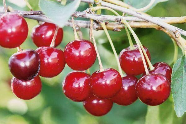 Выращивание вишни новелла