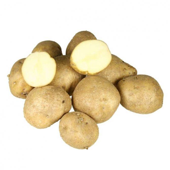 Описание сорта картофель голубизна — особенности выращивания
