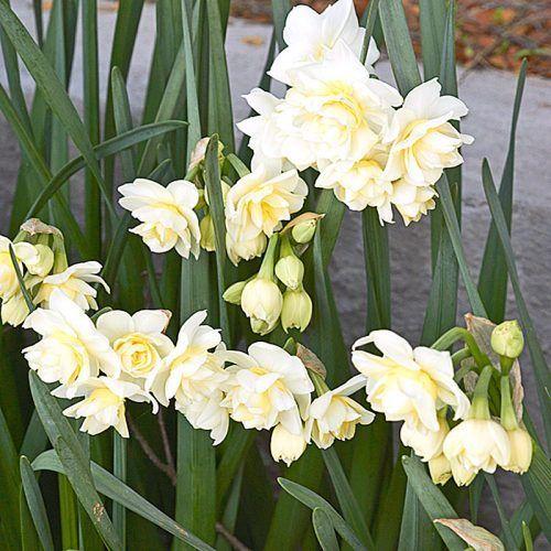 Нарциссы посадка и уход в открытом грунте весной и осенью пересадка и размножение фото сортов