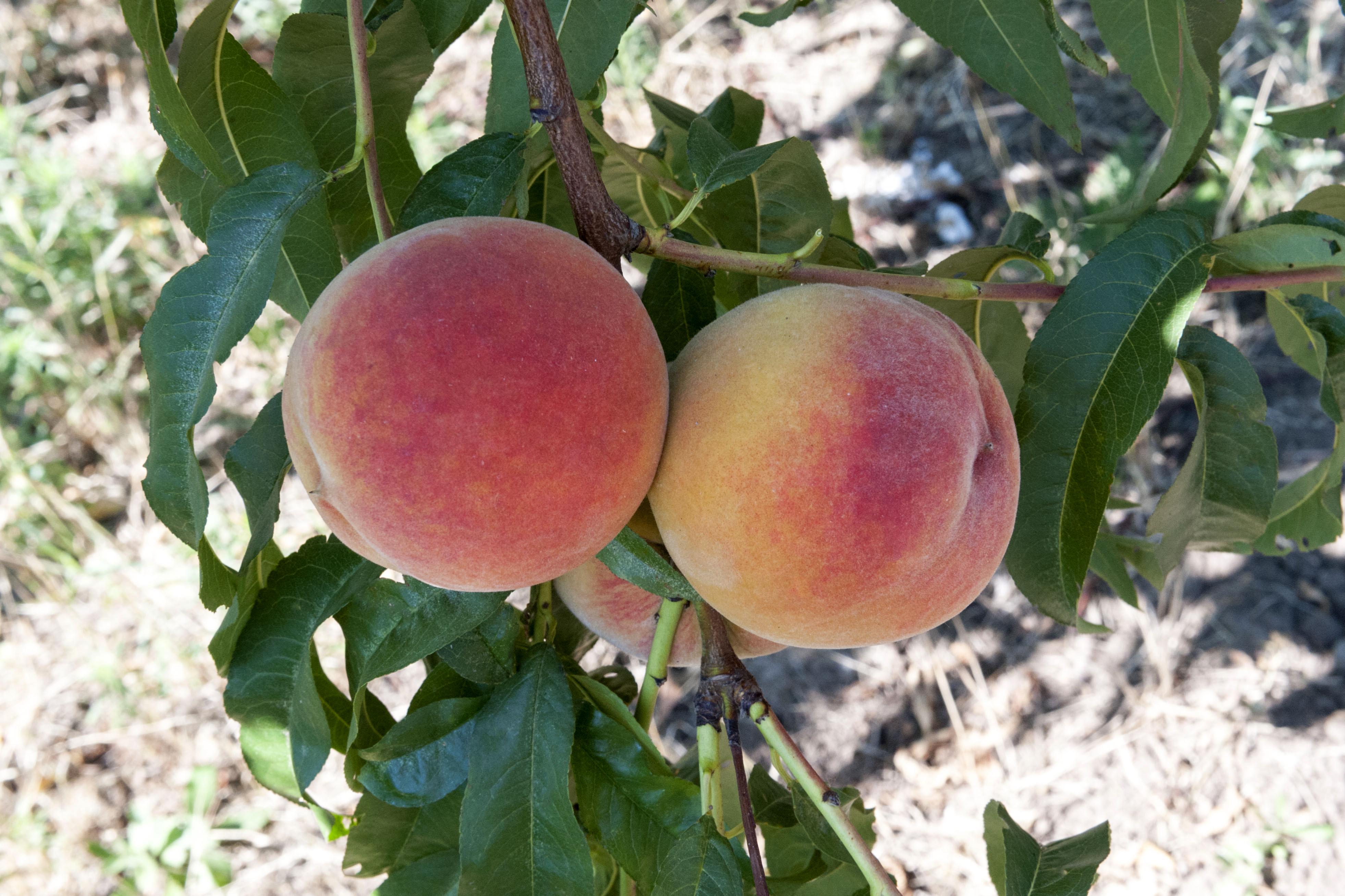 Персик редхейвен: фото и описание сорта, отзывы