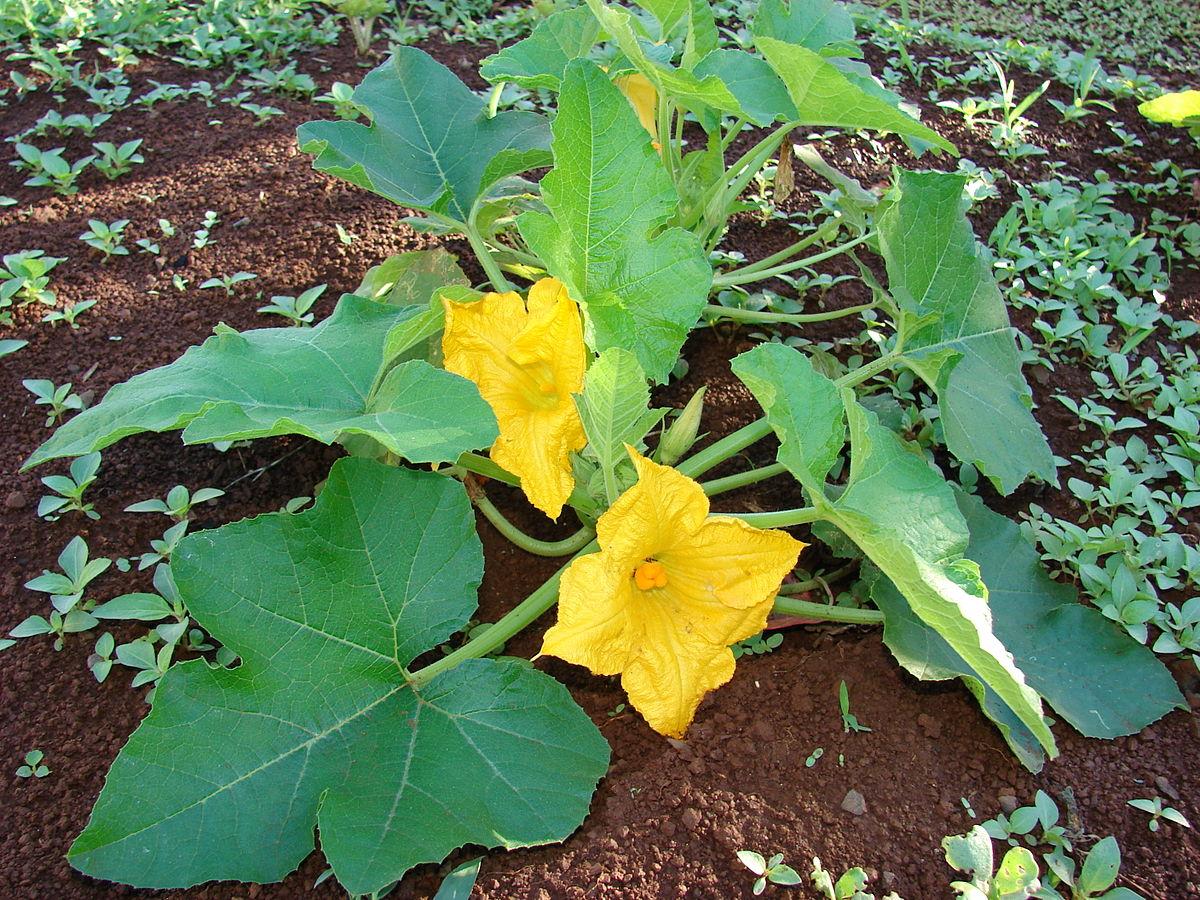 Подкормка тыквы для хорошего урожая: чем удобрять