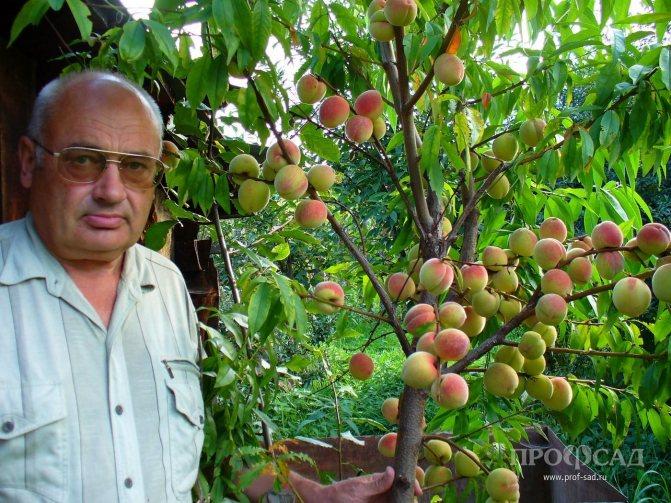 Декоративный кустарник абрикос маньчжурский