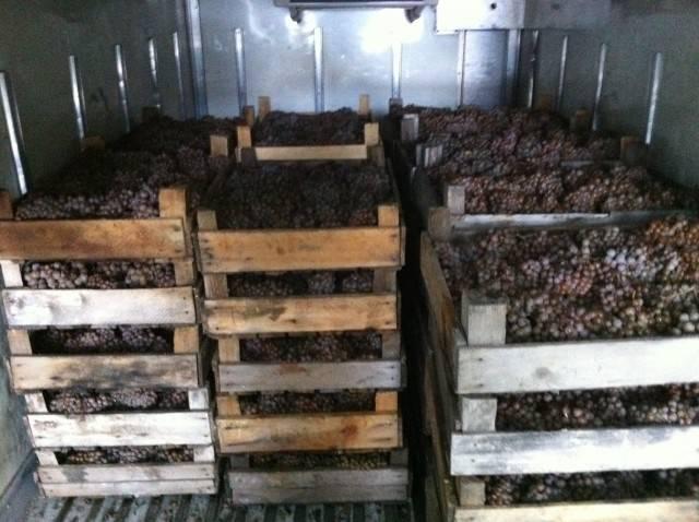 Как сохранить виноград на зиму свежим