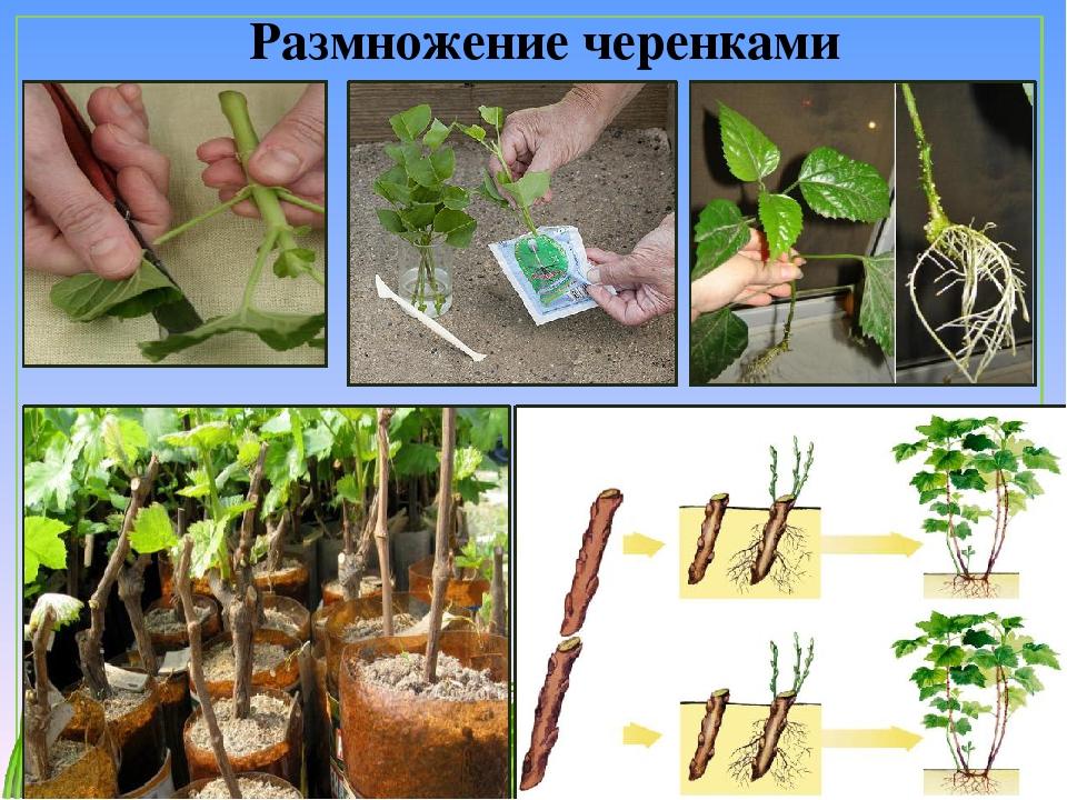 Мята – какую выбрать и как выращивать?