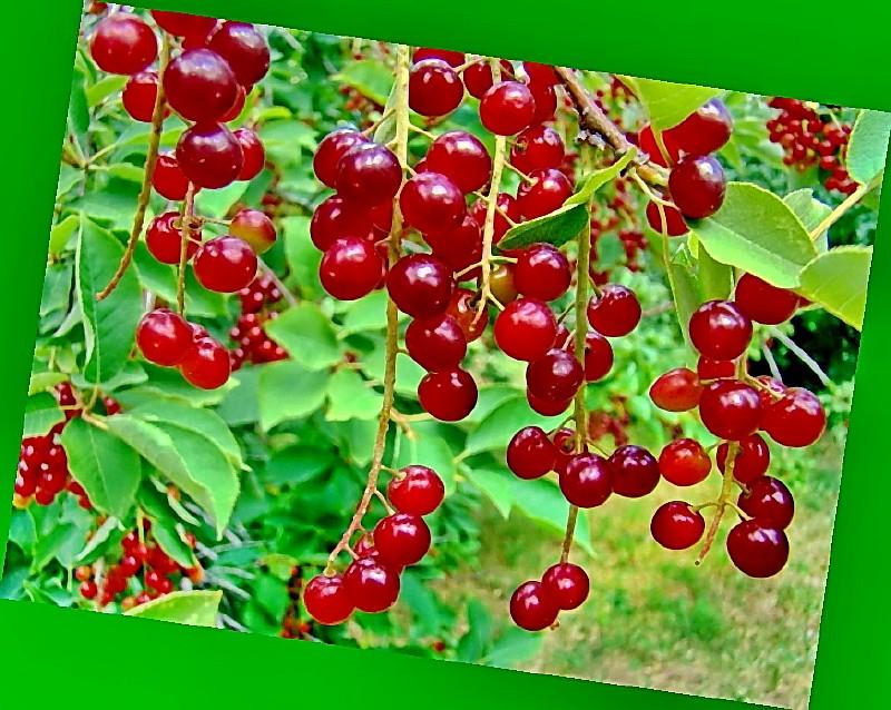 Описание и характеристики церепадуса, полезные свойства гибрида вишни и черемухи, посадка и уход