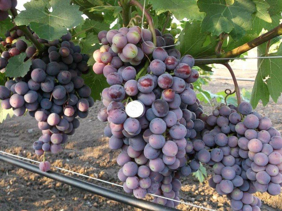 Виноград памяти учителя: описание сорта, посадка и уход, методы размножения