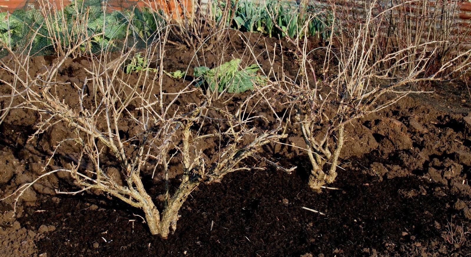 На смородине скручиваются и сохнут листья: в чем причина? что делать и чем обработать смородину, если листья скручиваются - секреты садоводов