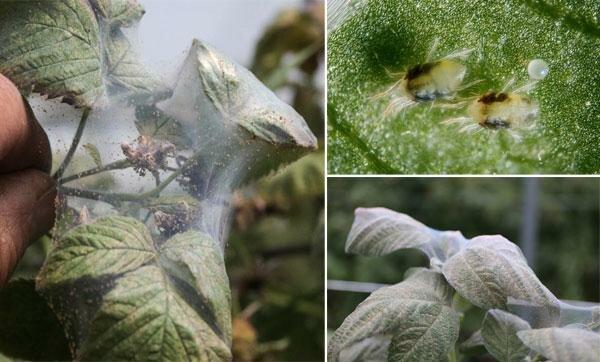 Чем обработать баклажаны от паутинного клеща: химические средства и народные методы