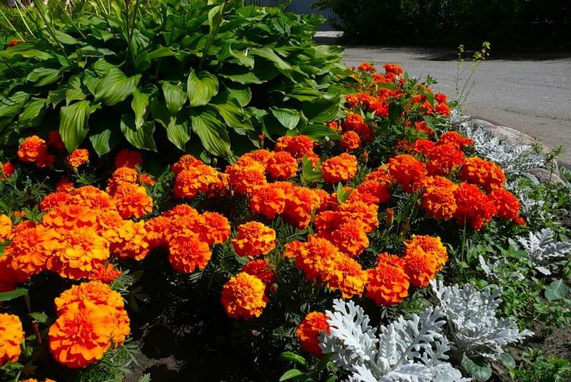 Шафраны и бархатцы - это разные цветы? как выглядят растения на фото, а также чем отличаются, и какие черты от них объединила в себе имеретинская разновидность? selo.guru — интернет портал о сельском хозяйстве