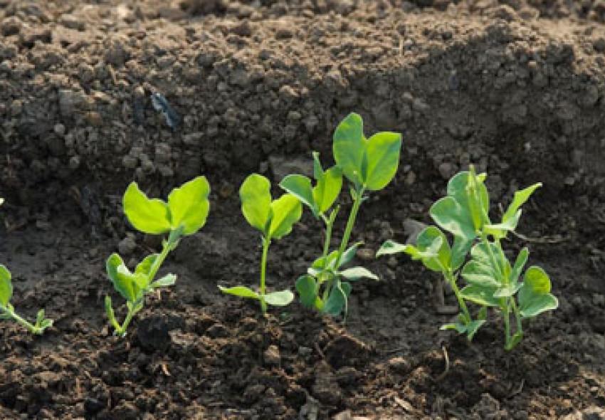 Выращивание гороха в домашних условиях и открытом грунте.